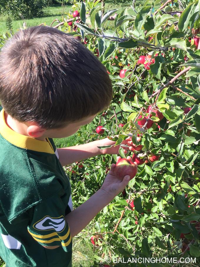 apple-picking-2015-46