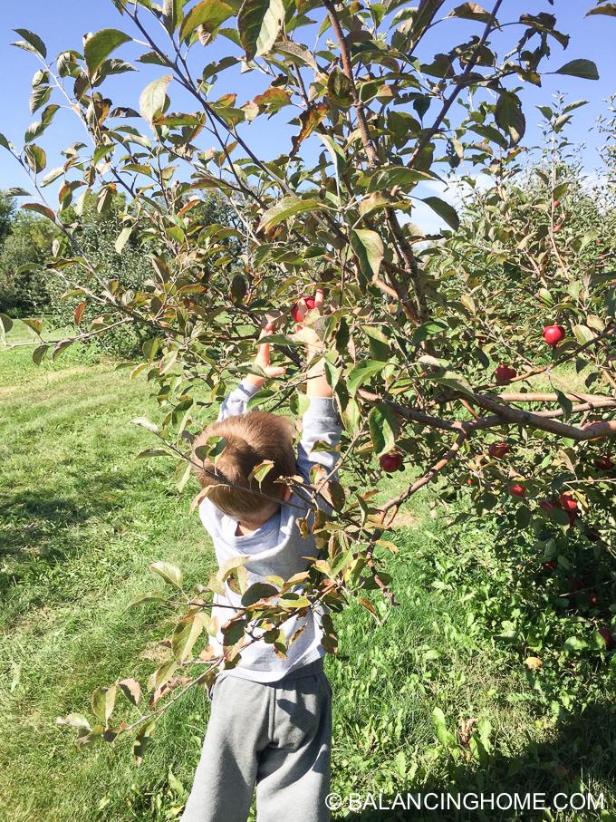 apple-picking-2015-58