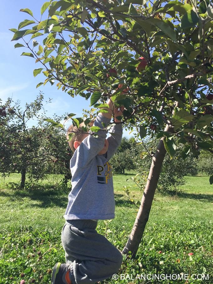 apple-picking-2015-59