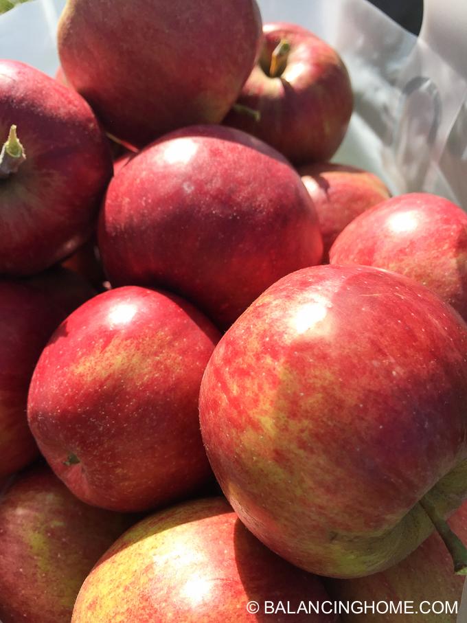 apple-picking-2015-61