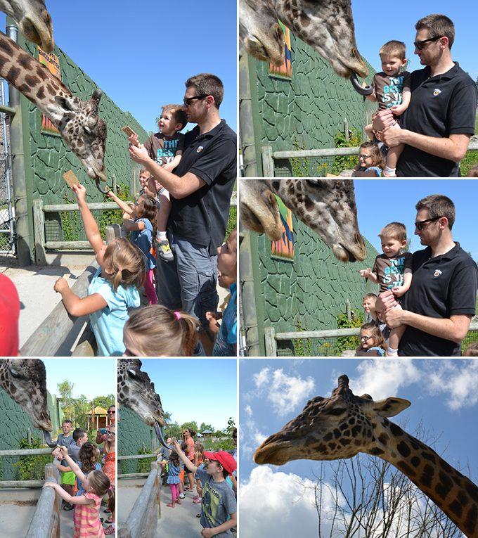 summer2015-giraffes